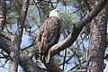 Bald Eagle (Haliaeetus leucocephalus) (5713668312).jpg