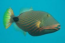 orange lined triggerfish wikipedia