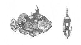 Balistes Phaleratus (Discoveries in Australia)