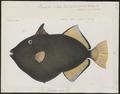 Balistes vidua - 1700-1880 - Print - Iconographia Zoologica - Special Collections University of Amsterdam - UBA01 IZ15400037.tif