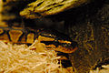 Ball python and rock.jpg