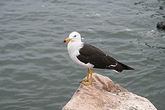 Belcher's gull - Image: Band Tailed Gull
