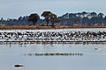 Banded Stilts and Red-necked Avocets (24388318662).jpg