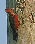 Banded woodpecker (Picus miniaceus) female - Flickr - Lip Kee.jpg