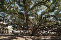 Banyan Tree (4187164824).jpg