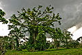 Banyan tree, Efate, Vanuatu, 13 April 2008 - Flickr - PhillipC.jpg
