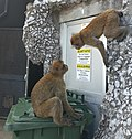 Barbary macaques of Gibraltar in search of food.jpg