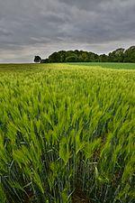 Barley field (31244990104).jpg