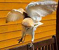 Barn Owl 3a (7637605354).jpg