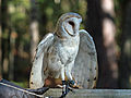 Barn Owl RWD at CRC1.jpg