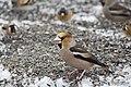 Batokljun (Coccothraustes coccothraustes) Hawfinch.jpg