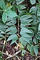 Bauhinia multinervia (Fabaceae) (33908972531).jpg