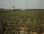 Bean field Seabrook Farm1a33785v.jpg