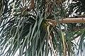 Beaucarnea recurvata 22zz.jpg