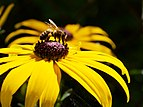 Bee on Heliopsis.jpg