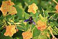 Bee on the Flower (5968309052).jpg