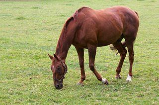 Beef or Salmon Irish-bred Thoroughbred racehorse
