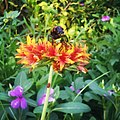 Beetle Bee on flower.jpg