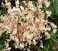 Begonia cardiocarpa.JPG