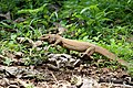 Bengal montor lizard (Varanus bengalensis) പൊന്നുടുമ്പ് (42442648322).jpg