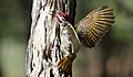 Bennett's Woodpecker, Campethera bennettii at Marakele National Park, Limpopo, South Africa ( male displaying) (16254835686).jpg