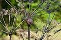 Berenklauw gedroogd (heracleum sphondylium) met slak.jpg