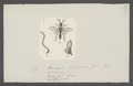 Bethylus - Print - Iconographia Zoologica - Special Collections University of Amsterdam - UBAINV0274 047 01 0055.tif