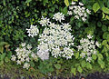 Betts Lane and Common Road junction verge with cow parsley at Nazeing, Essex, England.JPG