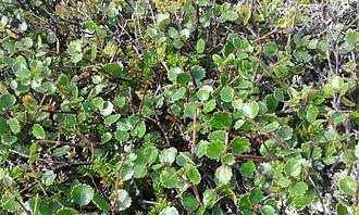 Betula nana - Betula nana in Norway. September 2012. 1000m ASL