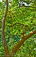 BhimaShankar,Fauna - panoramio.jpg