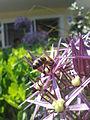 Biene auf Zierlauch1.jpg