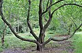 Big Old wild apple tree - panoramio.jpg
