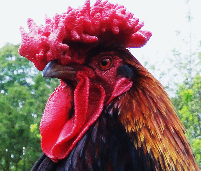 [Image: 707px-Big_red_rooster.jpg]