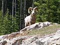 Bighorn Ram, Lake Minnewanka, Banff (200550757).jpg