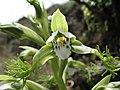 Bipinnula fimbriata (Poepp.) I. M. Johnst..jpg