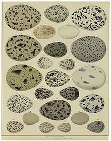 Old illustration, showing 23 birds' eggs of different size and colouring