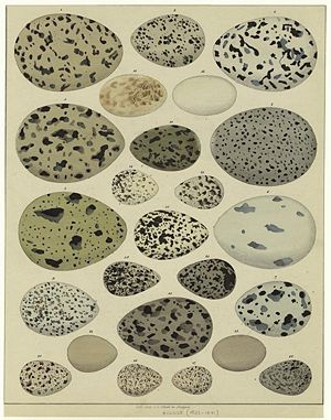 Oology - Mid-19th century illustration showing the eggs of a number of different bird species