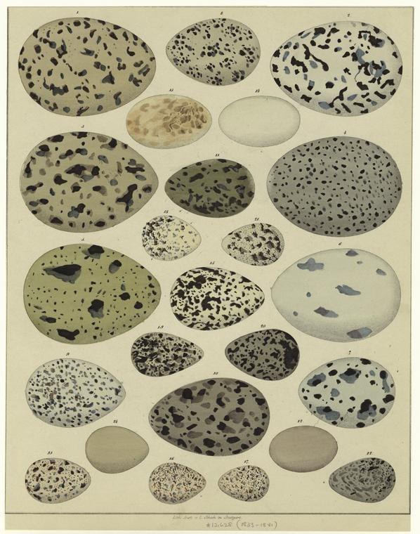 Bird eggs