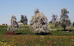 Florantaj pirarboj