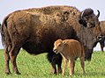 Bison with calf at Neal Smith National Wildlife Refuge (17286345386).jpg