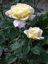 """Blüten """"Gloria Dei"""" Rose.JPG"""