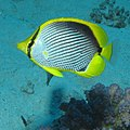 Black-backed butterflyfish, Red Sea (38087876092).jpg
