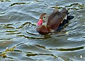Black-bellied Whistling Duck (Dendrocygna autumnalis) (10930030906).jpg