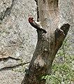 Black-collared Barbet (Lybius torquatus) at nest entrance ... (32364333976).jpg
