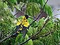 Black-hooded Oriole- bathing in the rain I IMG 7315.jpg