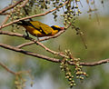 Black-naped Oriole feeding on Lannea coromandelica W IMG 7456.jpg