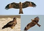 Black Kite (Milvus migrans), Jalpaiguri.jpg