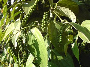Kattappana - Pepper, the king of spices