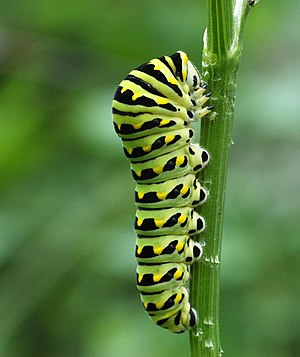 Photograph of caterpillar of the Black Swallow...
