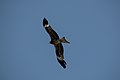 Black kite (Milvus migrans) D35 5600 01.jpg